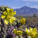 Yellow Cholla Glory and the Santa Ritas