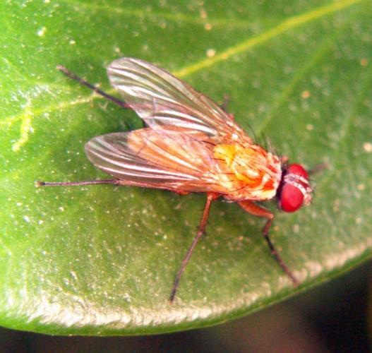 Achanthiptera rohrelliformis 2602577727_eb56e26013_o
