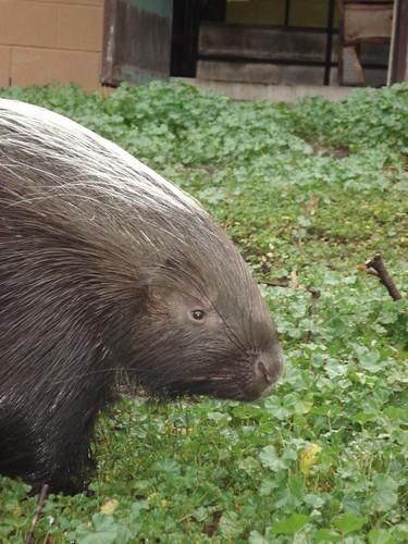 African Porcupine III