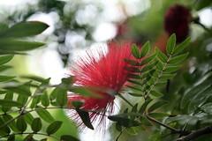 Lehua-haole (Calliandra inaequilatera)