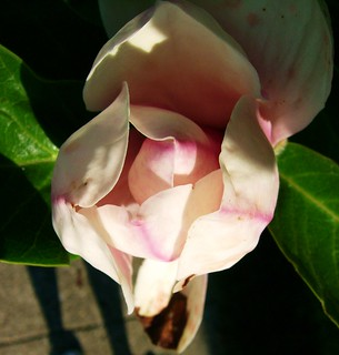 Late Blooming Magnolia