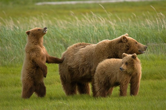 Grizzly Bears of Hallo Bay