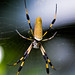 large-jawed spiders - Photo (c) Justin R, some rights reserved (CC BY-NC-ND)