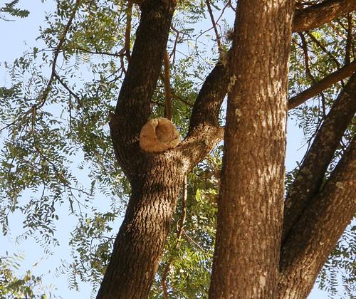 nido de hornero en tipa