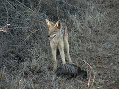 red wolf(0.0), grey fox(0.0), red fox(0.0), animal(1.0), mammal(1.0), jackal(1.0), fauna(1.0), fox(1.0), kit fox(1.0), coyote(1.0), wildlife(1.0),