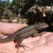Sierra Fence Lizard - Photo (c) randomtruth, some rights reserved (CC BY-NC-SA)