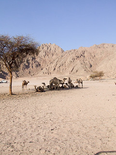 Camels in the Sinaï desert