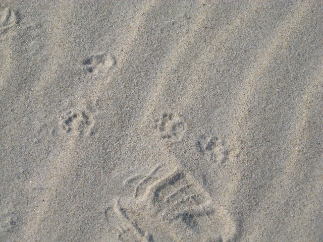 Skunk and Raccoon Footprints http://www.flickr.com/photos/wintertraveller/2947620829/
