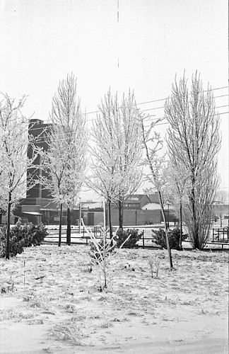 Snow Covered Trees 01