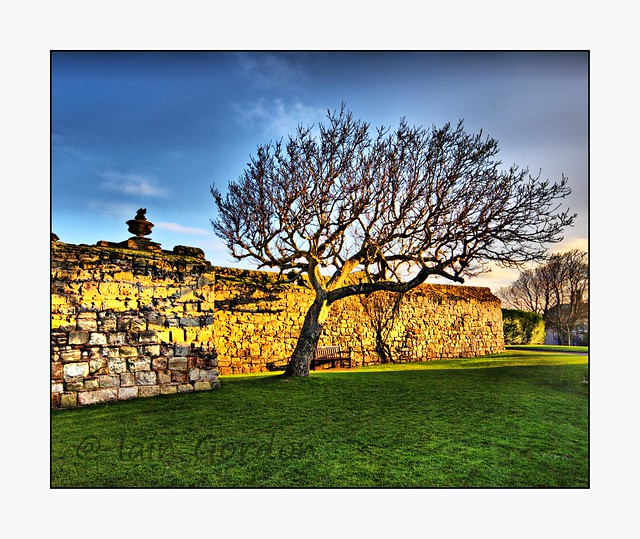 Windswept Tree - Cathedral Ruins  - St Andrews - Fife - Scotland