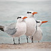 Royal Terns in Watercolor