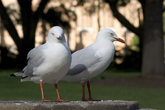 pigeons and doves(0.0), stock dove(0.0), animal(1.0), charadriiformes(1.0), fauna(1.0), european herring gull(1.0), beak(1.0), bird(1.0), seabird(1.0), wildlife(1.0),