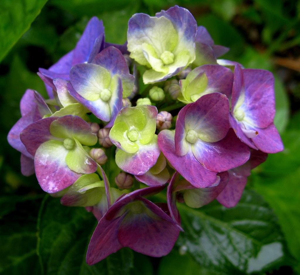 je voudrais offrir un bouquet de hortensia