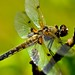 Four-spotted Chaser - Photo (c) Rainer Hungershausen, some rights reserved (CC BY-NC-ND)