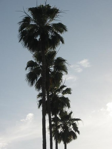 palm trees in a line