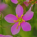 Sabatia - Photo (c) Jerry Oldenettel, some rights reserved (CC BY-NC-SA)