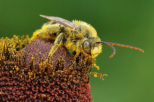 Pollen coated bee