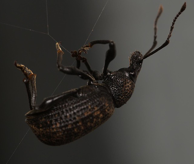 beetle stuck in spiderweb