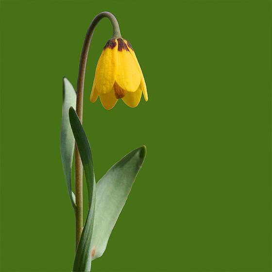 Yellow bell fritillaria pudica s okanagan plants yellow 2913557542 84cdf2e185 mightylinksfo