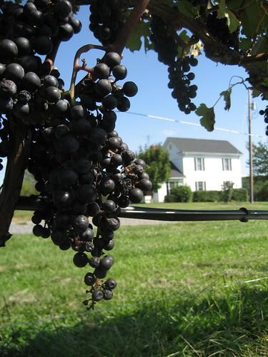 ヴァージニア州のワイン畑