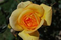 plant stem(0.0), garden roses(1.0), floribunda(1.0), flower(1.0), yellow(1.0), rosa foetida(1.0), plant(1.0), macro photography(1.0), flora(1.0), petal(1.0),