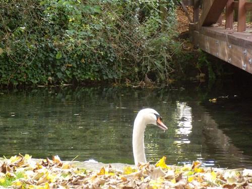 Watchful swan