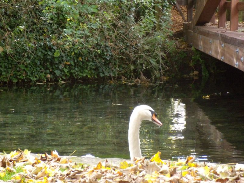 Watchful swan Whitchurch to Overton