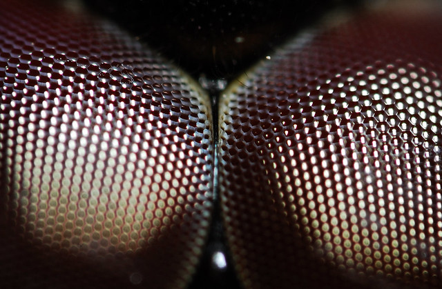 dragon fly eye (closeup)