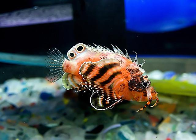 Fu Manchu Lionfish | Flickr - Photo Sharing!