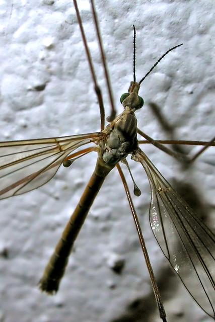 Big mosquito flickr photo sharing