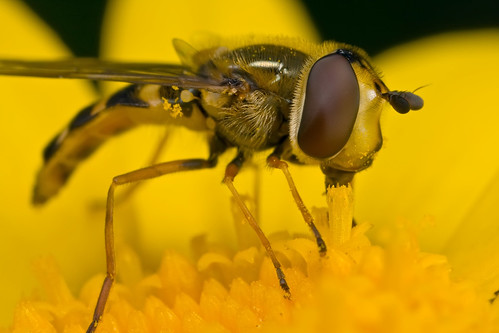 Hoverfly for 02 Apr 08 #1