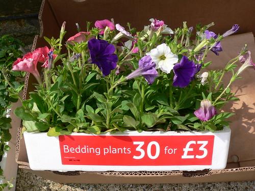30 bedding plants for 3 petunias bizzie lizzie lobelia. Black Bedroom Furniture Sets. Home Design Ideas