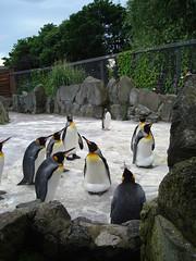 animal, zoo, penguin, flightless bird, fauna, king penguin, bird,