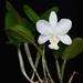 Cattleya x dolosa v. alba