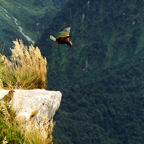 anoldent's photo of a kea