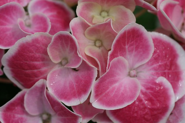 Strawberries And Cream Hydrangea And Cream Hydrangea by