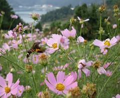 blossom(0.0), nectar(0.0), annual plant(1.0), flower(1.0), garden cosmos(1.0), plant(1.0), daisy(1.0), wildflower(1.0), flora(1.0), meadow(1.0), cosmos(1.0), petal(1.0),