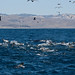 Flickr photo 'Sea Lions participate in a feeding frenzy surrounding a humpback whale' by: mikebaird.