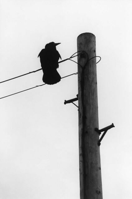 Rook, Corvus frugilegus on Telegraph Wire, Whitby, North Yorkshire