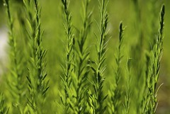 rye(0.0), sweet grass(0.0), barley(0.0), wheat(0.0), grass(0.0), food(0.0), crop(0.0), lawn(0.0), agriculture(1.0), food grain(1.0), field(1.0), plant(1.0), green(1.0), meadow(1.0), plant stem(1.0), grassland(1.0),
