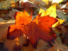 Autumn leaves #6
