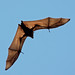 Flying Foxes - Photo (c) Michael Jefferies, some rights reserved (CC BY-NC)