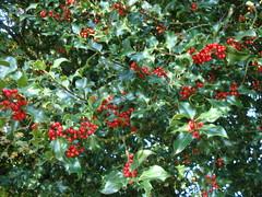 evergreen(0.0), shrub(0.0), acerola(0.0), flower(0.0), hawthorn(0.0), produce(1.0), fruit(1.0), food(1.0), aquifoliaceae(1.0), aquifoliales(1.0),
