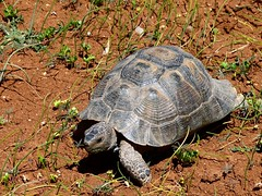 Common Tortoise - Photo (c) dynamosquito, some rights reserved (CC BY-SA)