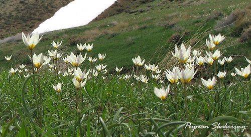 Zagros mountain  flowers2