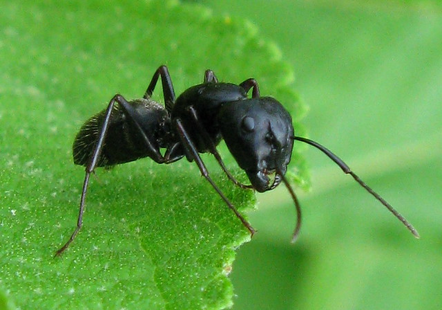 big black ant - photo #24