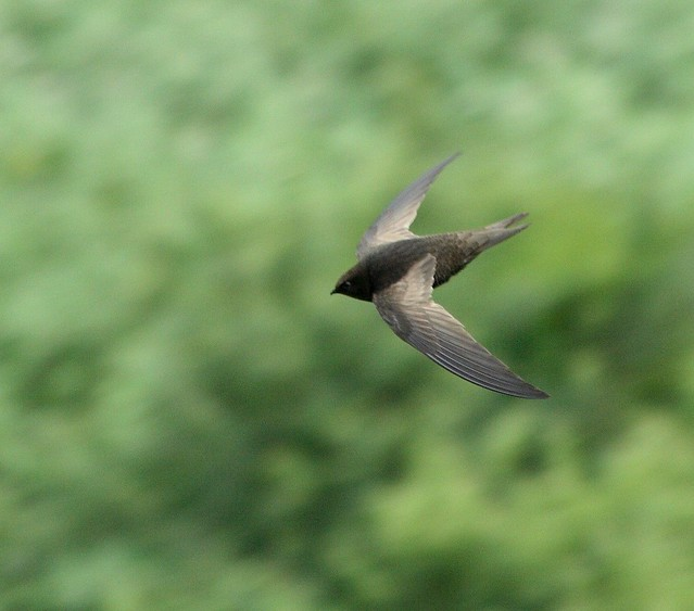 Header of African Black Swift