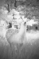 The White Lama Infrared Film