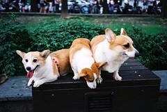 shiba inu(0.0), dog breed(1.0), animal(1.0), puppy(1.0), dog(1.0), pet(1.0), mammal(1.0), pembroke welsh corgi(1.0), norwegian lundehund(1.0), welsh corgi(1.0),