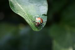 animal, leaf, nature, invertebrate, insect, macro photography, flora, green, fauna, close-up, leaf beetle, beetle,